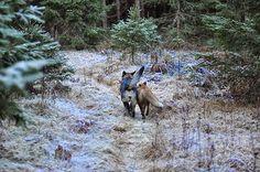 Fieggentrio: Vriendschap tussen een hond en een vos.