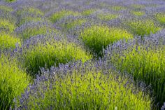 Península Olímpica, Washington, Estados Unidos Foto: Daisy Gilardini, vía Facebook. Flores de lavanda
