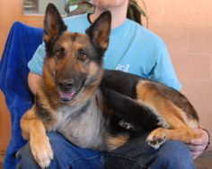 Rose is a kind, gorgeous young girl triumphantly debuting for adoption today at Nevada SPCA (www.nevadaspca.org).  She is a German Shepherd, 1 year of age and spayed.  At the time of rescue Rose was at another shelter with a broken front left leg.  We admitted her to a veterinary hospital and x-rays revealed Rose's leg was so severely broken and mangled from extreme trauma (consistent with being struck by a vehicle) that it could not be saved. Rose is adjusting beautifully to life on three…