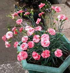 Pinks grown in containers give off a gentle perfume & can be moved when flowering is over.