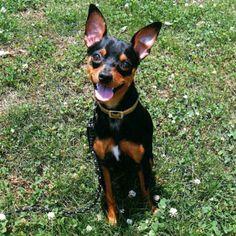 Smiling #MinPin #Pinscher #dog