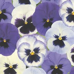Edible : Buy 40 plus 20 FREE large plug plants Pansy Ocean Breaze Mixed Improved: Delivery by Crocus Rare Flowers, Little Flowers, Exotic Flowers, Colorful Flowers, Purple Flowers, Winter Pansies, Winter Flowers, Flowers Nature, Cactus Flower