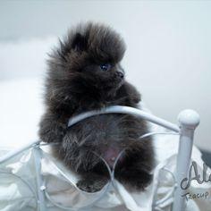 Blue Pomeranian, Tea Cups, Mini, Cup Of Tea