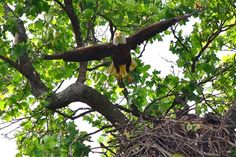 'Mr. President' makes a spectacular fly-off from his nest high in a tree at The National Arboretum in Washington, DC. Both parent take turns raising the eaglets and guarding the nests. It is a several month commitment; with incubating eggs, hatching helpless eaglets,   then feeding, raising, & teaching the offspring. ~photo by Dan Rauch