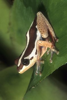 ☆ Reed Frog, Africa :¦: Gail Melville Shumway Photography ☆