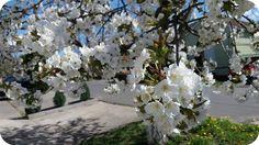 Cireșul este un pom fructifer, care face parte din familia Rosacea, grupa pomicolă Drupacee (sâmburoase). Denumirea lui științifică este Prunus aviumși își are originea în teritoriile situare într…