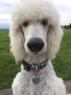 Krypto at the Chambers Creek Park Summer 2014. White standard Poodle