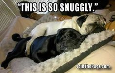 Thank you to Susie Thomas-Tucker & Onyx!   www.jointhepugs.com/  #pugpower #pugsnotdrugs #puglife #puglove #cuteness #pugs #puglover