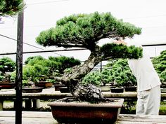 Pinus Parviflora Bonsai » LuxuryTrees®