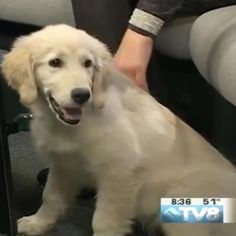 My first #TV appearance!  Thanks @tv8vailcolorado !  I could get used to the whole #celebrity thing! #dogsofvail #ilovegoldens #goldensofinstagram #coloradogoldens #vail #colorado http://tipsrazzi.com/ipost/1527876514560246473/?code=BU0G5hPBoLJ