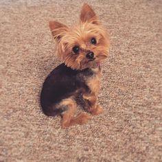 : It's my birthday  soon so my human gave me a haircut!  . • • 新しいトリマーでカットをしてみました  #tinyolive7 #doglife #yorkie #yorkiesofinstagram #yorkieloversworldwide #cutepetclub #cutepetpatrol #awwclub #birthdayweek #haircut #shorthair #petsagram #dogsloversclub #yorkiefamous #yorkienetwork #pose #love #gooddog #julybirthday #犬 #愛犬 #犬と一緒 #ヨーキー #ヨーキー倶楽部 #もうすぐ誕生日 #7月誕生日