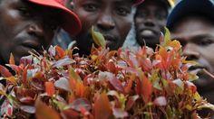 Somalia imposes Kenyan khat import ban - http://tradeexim.com/somalia-imposes-kenyan-khat-import-ban/