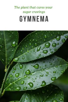Using gymnema can make saying no easier. Gymnema is a plant that has been used in Ayurvedic medicine for centuries. Stop Sugar Cravings, Ayurvedic Medicine, Plant Based, The Cure, Plant Leaves, Plants, Plant, Planets