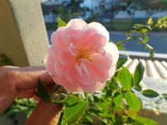 Cecille Brunner rose