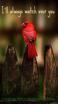 "Cardinal for Nick, my grandson. He says cardinals are ""God's Birds. Pretty Birds, Love Birds, Beautiful Birds, Beautiful Life, Bird Quotes, Bird Sayings, State Birds, Cardinal Birds, Cardinal Meaning"