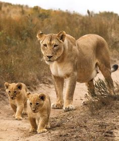 2019 Highlight | The cutest lion cubs born recently on Gondwana spotted for the first time taking a stroll with their mother. 📸Charlie Hartwell #lioncubs #2019highlights #gondwanagr