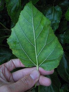 Morus alba: blad verspreidstaand, melksap houdend, veervormig.