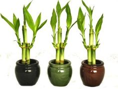 KL Design & Import – 3 Colors Bamboo Style Mini Ceramic Vases and total 9 Stalks of Lucky Bamboo – Gourmet Gifts Feng Shui Lucky Bamboo, Lucky Bamboo Plants, Indoor Bamboo, Indoor Plants, Potted Plants, Tea Gifts, Coffee Gifts, Lucky Bamboo Care, Vases