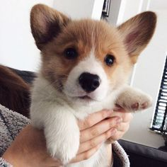 This sweet corgi puppy will warm your heart. Dogs are fascinating companions. Baby Corgi, Cute Corgi Puppy, Corgi Dog, Cute Puppies, Cute Dogs, Teacup Puppies, Puppies Puppies, Husky Puppy, Cute Dog Pictures
