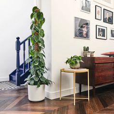 Philodendron Scandens   Heart-Leaf   Indoor Plants in London   Patch House Plants Decor, Plant Decor, Garden Plants, Tall Indoor Plants, Philodendron Scandens, Shingle Colors, Corn Plant, Chinese Money Plant, Vivarium