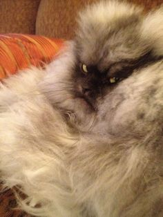 If looks could kill ... Colonel Meow
