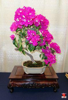 Bougainvillea flowers tree