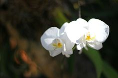 anggrek bulan #orchid #flower #nature #photography #bali