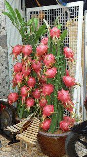 "A Pitaya também pode ser plantada ""in door"" em vasos."