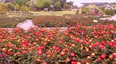 Ulsan Grand Park: Rose Garden
