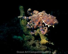 onorable Mention, Compact Macro Will Clark Blue-ringed octopus at night