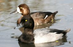 Greater Scaup pair
