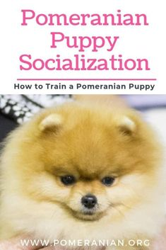 Pomeranian Puppy Socialization and How to Train a Pomeranian Puppy. Why Should You Socialize Your Puppy Pomeranian? How to Socialize Your Puppy Pomeranian? #DOCHLAGGIE #POMERANIAN Aussie Puppies, Siberian Husky Puppies, Black Lab Puppies, Pomeranian Puppy, Husky Puppy, Dogs And Puppies, Siberian Huskies, Pomeranian Facts, Teacup Pomeranian