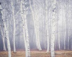 Fine art landscape photography print of birch trees on a foggy winter day in Maine by Allison Trentelman.