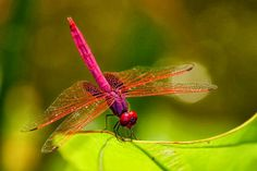 Dragon Fly my favorite insect love the color