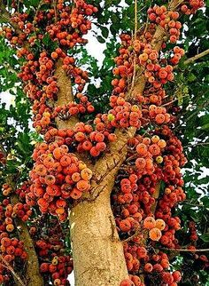buah+ara.jpg (335×458)