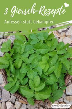 "This weed tastes fabulous: 3 recipes with greed - Dieses Unkraut schmeckt fabelhaft: 3 Rezepte mit Giersch 3 Giersch recipes – a ""weed"" to eat – healthy and delicious - Hydrangea Care, Herbs For Health, Healthy Herbs, Herb Recipes, Growing Herbs, Medicinal Herbs, Edible Garden, Greed, Land Scape"