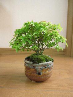 Bonsai - nice look with pot