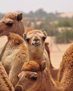 I want a camel farm Visit Dubai, Dubai Uae, Abu Dhabi, Miss And Ms, Hilarious Stuff, Alpacas, United Arab Emirates, Saudi Arabia, Dream Vacations