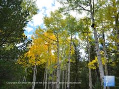 Pretty golden aspens sighted during a #fall hike along the Bear Jaw trail in #Flagstaff, Arizona.