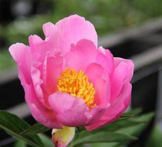 Nymphe - Herbaceous Peony / Paeonia