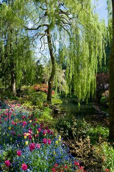weeping willows in the garden