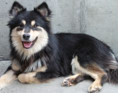 Kalevi Finnish Lapphunds - News