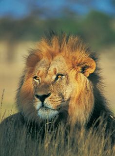Lion Cub, Mountain Lion, Wildlife Nature, Tour Operator, Cubs, Lions, Australia, Animals, Stars