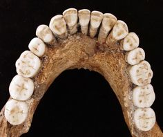 90,000 year-old mandible of a young Neanderthal adult from Le Regourdou (near Lascaux) in SW France. Photo: P. Sémal