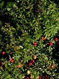 Brusnica veľkoplodá (kľukva) - Stevens, Koreninová a liečivá záhrada