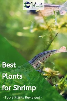 We have compiled a list of the best plants for shrimp tank. Those plants would not only provide an ideal environment for your shrimp but.Read More here! Live Aquarium Plants, Home Aquarium, Planted Aquarium, Live Plants, Aquarium Ideas, Saltwater Aquarium, Freshwater Aquarium, Aquarium Fish, Ghost Shrimp