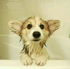 Image result for adorable welsh fluffy corgi at a beach