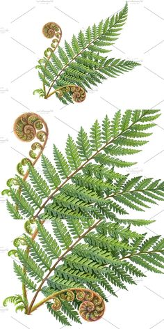 Silver Fern, Pencil Design, Pencil Illustration, Ferns, Cactus Plants, How To Draw Hands, Fern, Cacti