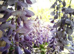 Flores de Glicinia (Wisteria)