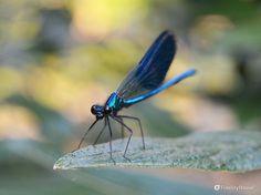 Fanno un po' di soggezione quegli occhioni grossi grossi in una libellula tanto scura. Dopo aver planato su una foglia si è messa in posa per la foto.